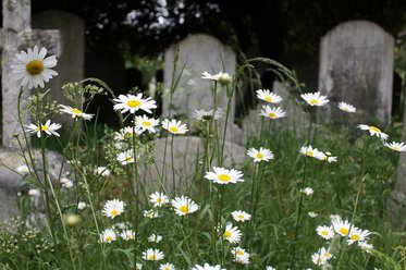 daisies, graves, cemetery, burial, death, tombstone, dead, coffins, caskets, funerals, weeds, vegetation, stones, cross